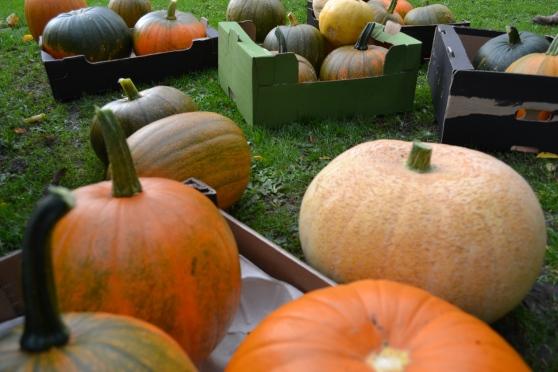 Pumpkins at Dalton Allotments