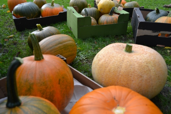 Pumpkins at Dalton Allotments