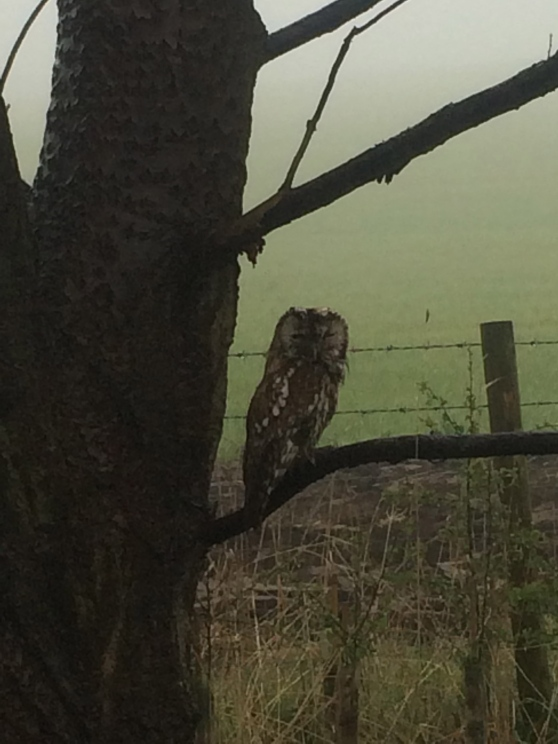 Owl at Dalton